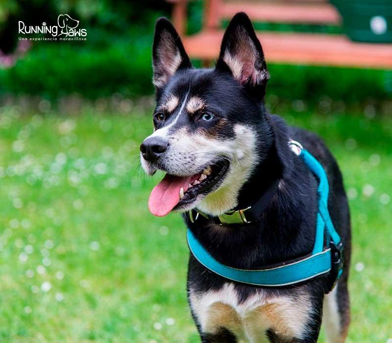 Programas para perros entrenamientos colombia running paws 4 correción de conductas